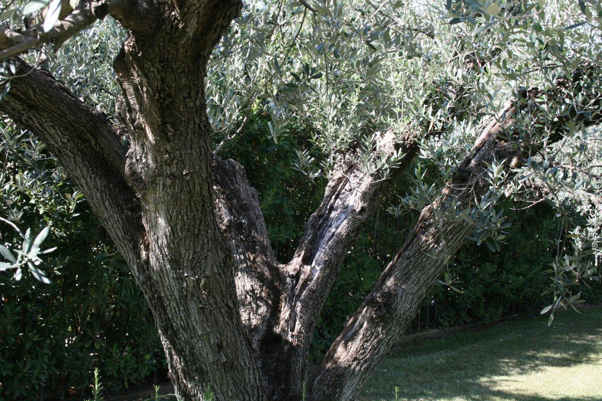 old olives