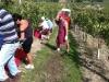 Montepuciano harvest