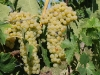 Trebbiano grapes