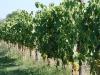 organic viticulture
