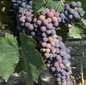 grapes turning colour