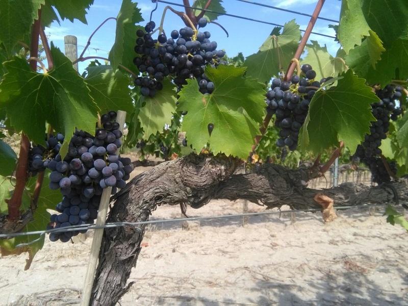 old vine 1