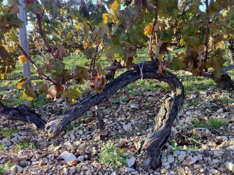 Old vine in Chablis