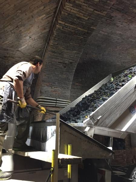 Grapes arriving at Contucci