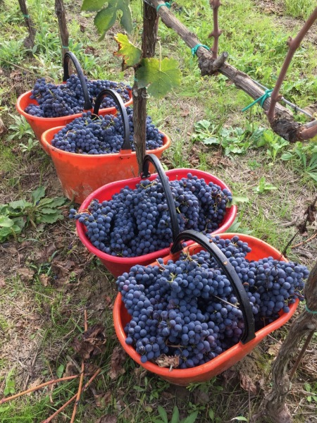 picked Sangiovese in Montepulciano