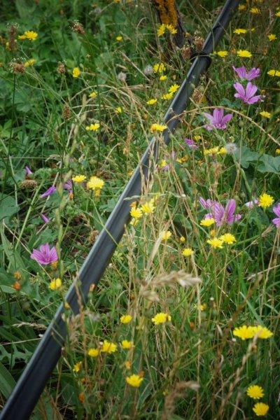 wild flowers in vineyard