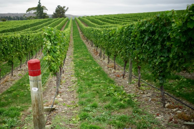 Pinot Noir in Awatere Valley