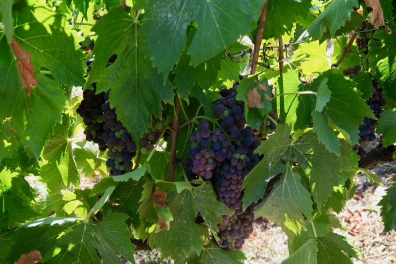 Sangiovese within canopy  Ghiaccio Forte