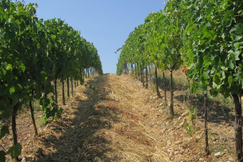 mulching to preserve moisture, Sangiovese, Ghiaccio Forte