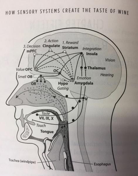 Gordon Shepherd diagram