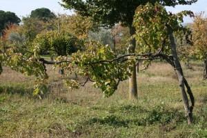 very old vine