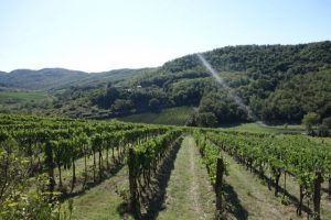 vineyard Montevertine