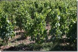 Vines converting to alberello