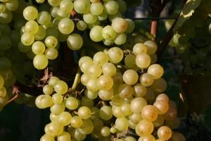 Auxerrois grapes