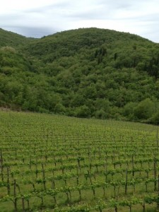 Tuscan harvest 2012