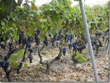 old vine harvest