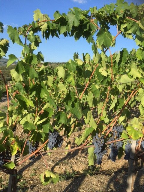 Tuscan harvest 2015