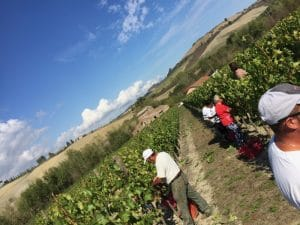 Picking grapes in Montepulciano