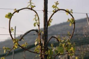 Trained Glera vine Prosecco
