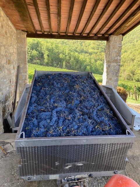 Harvested Sangiovese