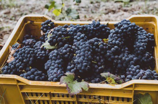 Pinot Nero at Travaglino